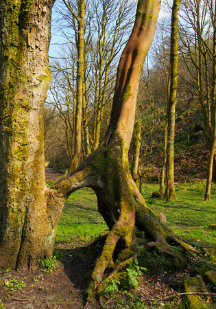 tall beech trees with joined exposed twisted roots in a grass covered forest clearing in bright early spring sunlight with bright blue sky and steep hill in the background