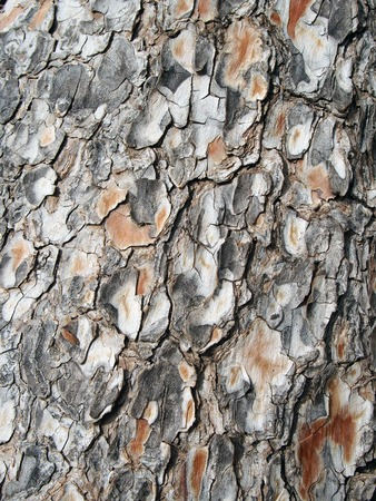 cracked rough textured full frame close up of grey and orange textured pine bark