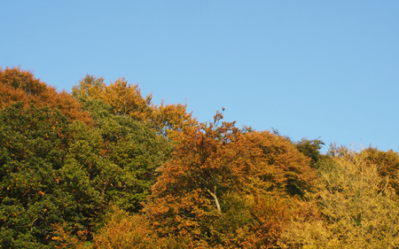 woodland tree tops in bright autumn utumn colors against a clear blue sky