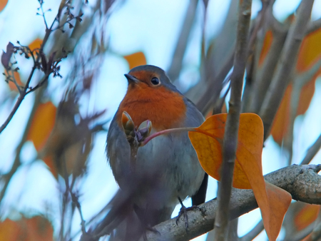 close up of a european robin perched in a tree with bright autumn leaves and a blurred background