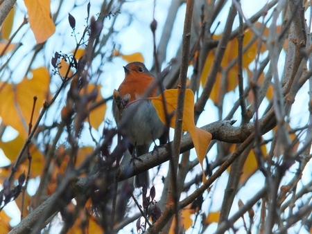a european robin perched in a tree with bright autumn leaves and a blurred background