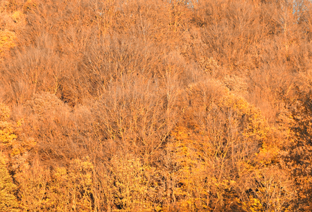 a full frame golden yellow autumn forest canopy background
