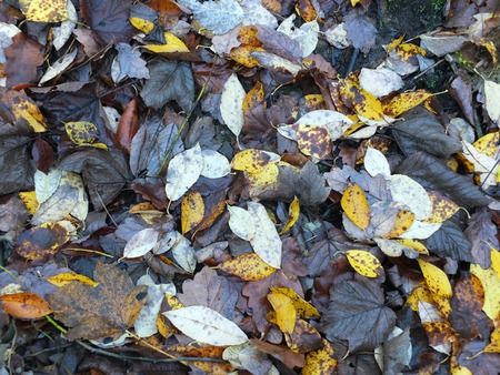 Wet fallen dead leaves on the ground in shades of brown and yellow in late autumn full frame backgeouns
