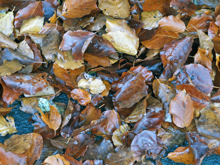 Shining brown wet fallen autumn leaves on the ground in autumn