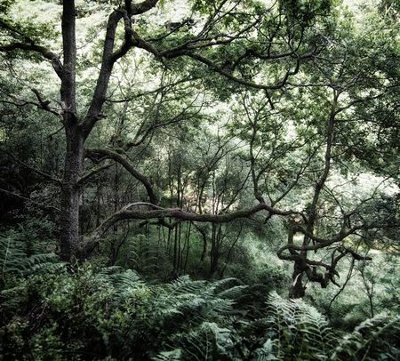 dense dark green shadowy forest with ferns covering the ground and old twisted trees with light shining though the woodland canopy