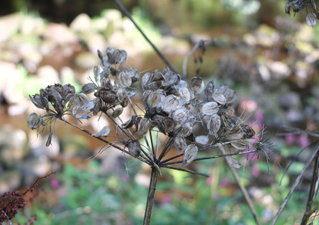 Close up of wild cow parsnip seed heads against a blurred nature background Stock Photo