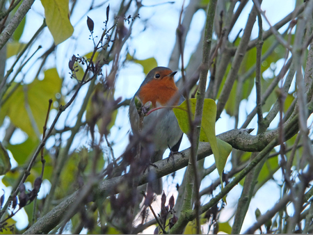 a european robin perched in a tree with blurred trees and leaves