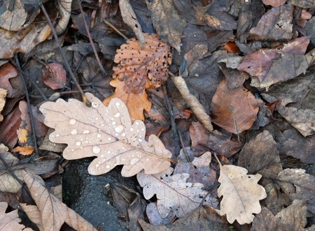 brown decaying mixed autumn leaves on a forest floor with raindrops Stock Photo