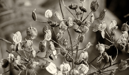 sepia close up nature abstract with dry seed heads of the cow parsnip in early autumn against a dark blurred background Stock Photo