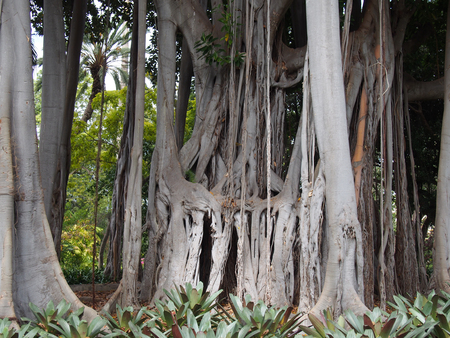 massive ancient banyan tree with complex joined trunks and branches in a jungle environment