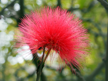 Close up of a bright pink mimosa pudica flower Stock Photo