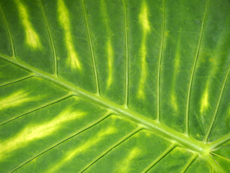 a bright green vibrant variegated tropical leaf background with striped colorful pattern