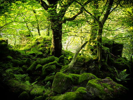 intense bright green woodland with moss covered boulders and bright green leaves