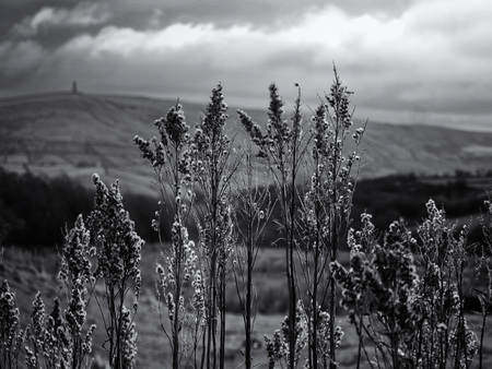 monochrome close up of autumn flowering grass like plants against a yorkshire dales scenic background