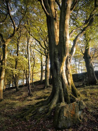Hillside woods  in West Yorkshire with old beech trees in Summer