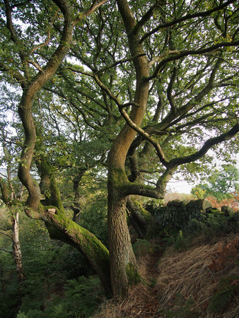 Old twisted beech tree in english woodland with dry stone walling Stock Photo