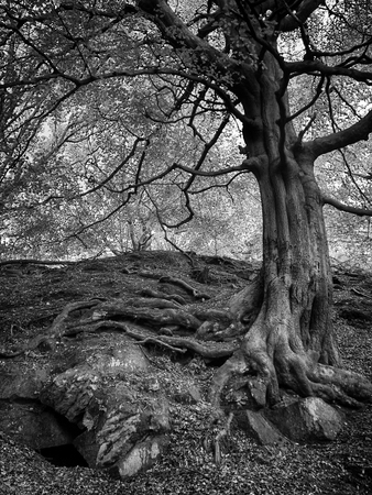 monochrome image of a tall old forest tree with large old twisted roots growing over boulders and stones on a steep hillside Stock Photo
