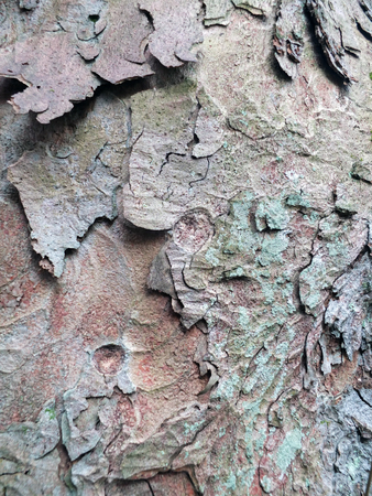 a close up of old textured sycamore bark with peeling layers in shades of green and brown Stock Photo