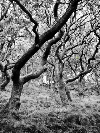 a monochrome woodland scene with small strange twisted trees with tangled branches Stock Photo