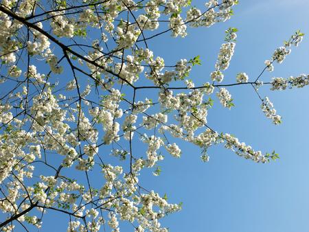white cherry blossom in bright sunlight against a vibrant blue sky Standard-Bild