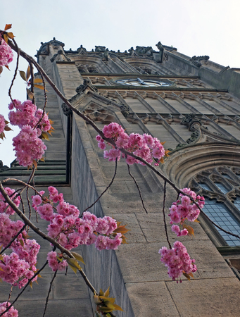 a close up of cherry blossom in front of the tower of leeds minster formerly the parish church in springtime