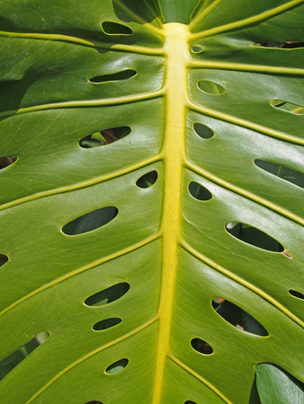 close up of a large bright green tropical philodendron leaf with a pattern of holed