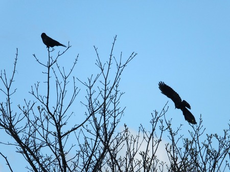 two carrion crows in silhouette with one flying and one perched in branches against a blue spring sky