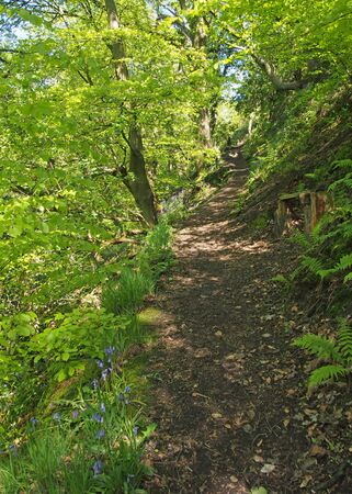 a narrow path through vibrant green spring woodland along the side of a steep valley surrounded by ferns and bluebells