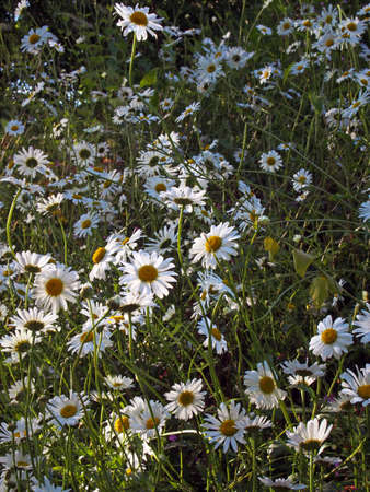 ox eye daisies growing wild in a summer meadow in bright sunlight