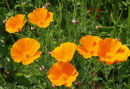 a close up of vivid yellow california poppies flowering in a meadow in bright summer sunlight