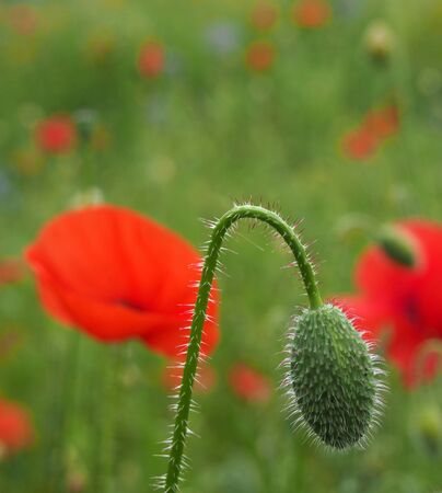 the flower bud of a red common poppy with flowers in a blurred meadow setting Stockfoto