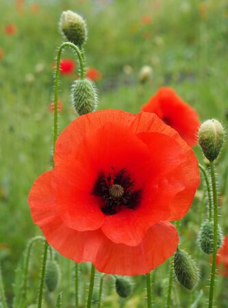the flower of a red common poppy with buds with a blurred summer meadow background