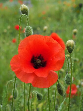 a bright red common poppy flower with buds with a blurred summer meadow background