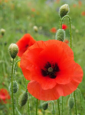 a close up of a vivid red common poppy flower surrounded by buds with a blurred summer meadow background 写真素材
