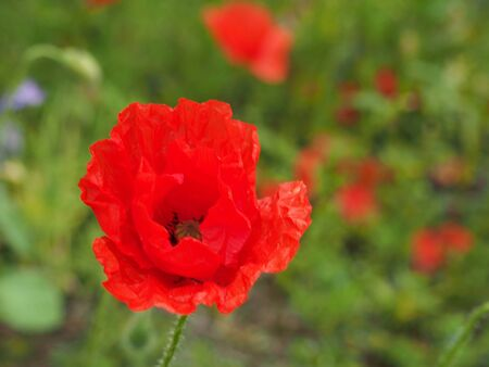 a bright red common poppy flower with buds with a blurred floral summer meadow background