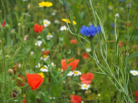 a cornflower plant growing with other wildflowers in a summer grass meadow