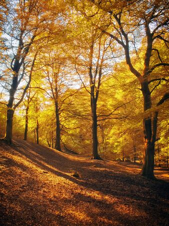 morning sunlight in woodland shining though golden autumn foliage with dappled light and shadow on the forest floor carpeted with leaves