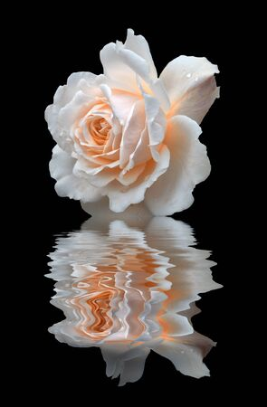 a pale white rose reflected on black water