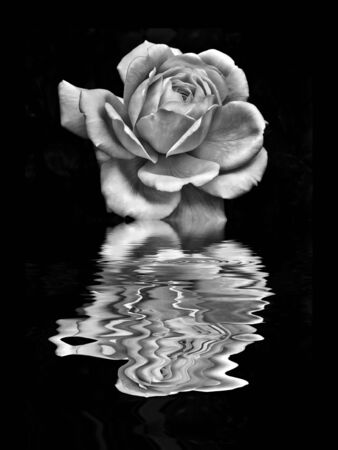 single pale white rose on a black background reflected in a rippling water effect