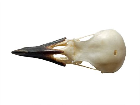 top view of a crow skull on a white background