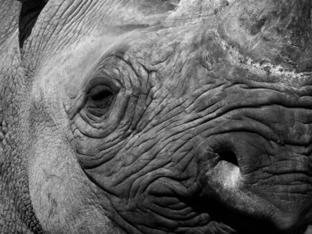 a monochrome close up of the face of a black rhinoceros with eye nose and horn