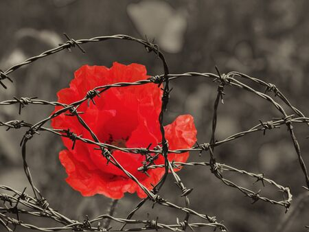 a bright red poppy flower against a sepia toned field behind tangled barbed wire war remembrance day concept image