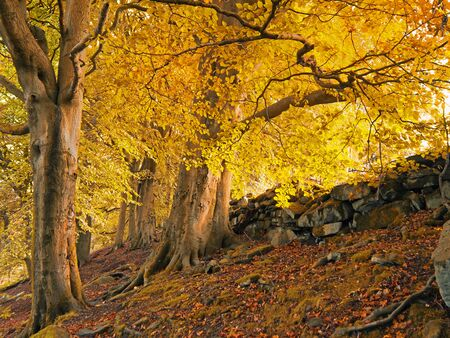 tall forest trees on a hillside with sunlight shining though golden orange autumn leaves Фото со стока
