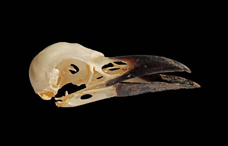 a side view of a crow skull with open beak on a black background