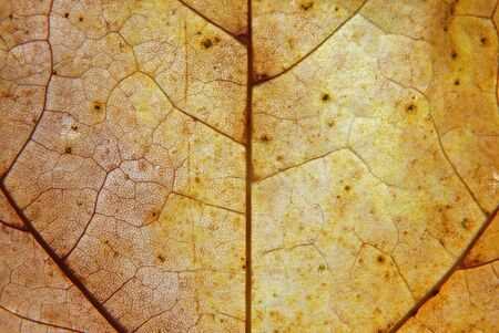 full frame close up of a yellow and brown autumn leaf with veins and cells show in detail Фото со стока
