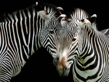 a close up of the heads of two zebras on a black background Stok Fotoğraf