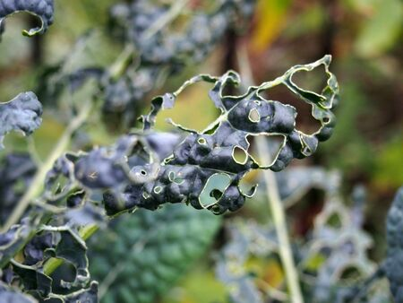 close up of late autumn kale growing with holes caused by garden pests eating the leaves Фото со стока