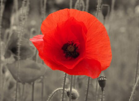 a close up of a bright red common poppy flower on a vintage sepia background - war remembrance concept