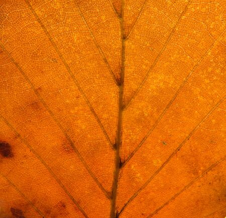 full frame close up of an orange brown autumn leaf showing veins and cells Фото со стока