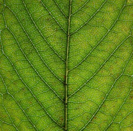 Cerca de una hoja verde de principios de otoño que muestra las venas y las células